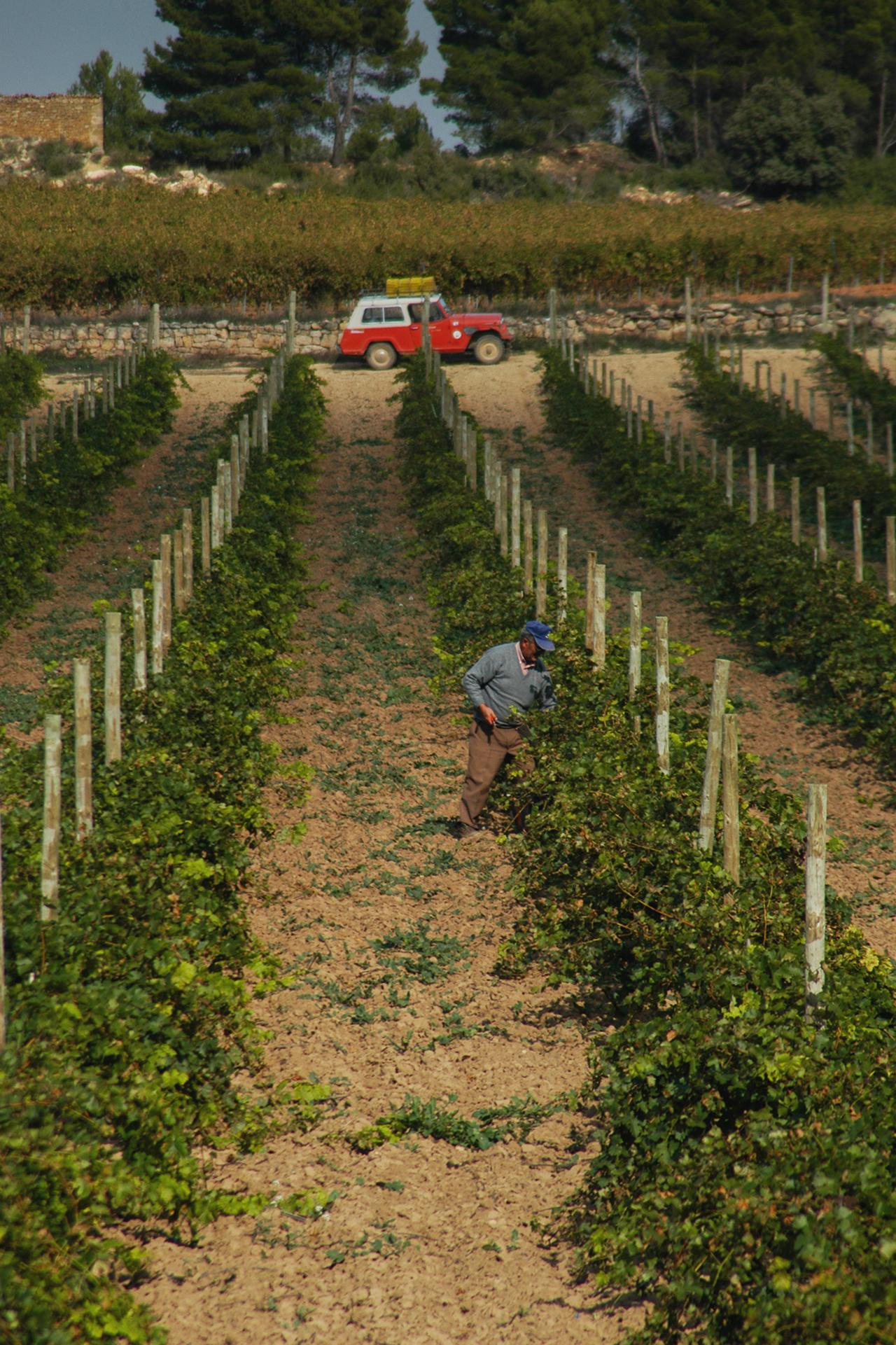 viticultor en la finca de Mas de Torubio